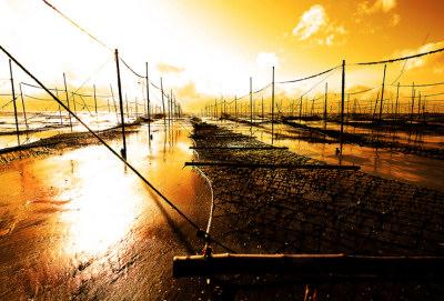 広川の海苔養殖