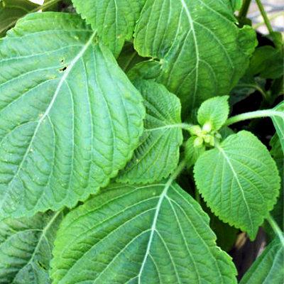 しそ科の栄養高いエゴマの葉