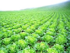 契約農家が有機堆肥農法で栽培した白菜
